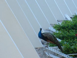 peacocks_everywhere.jpg